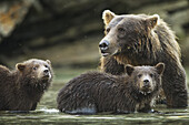 Coastal Brown Bear spring cubs (Ursus arctos) and mother in salmon spawning stream along Kuliak Bay, Katmai National Park, Southwest Alaska