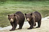 Two Coastal Brown Bear Spring Cubs (Ursus arctos) walking along salmon stream by Kuliak Bay, Katmai National Park, Southwest Alaska