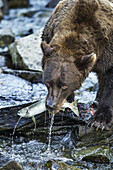 Coastal Brown Bear (Ursus arctos) bites into Pink Salmon in stream along Kuliak Bay, Katmai National Park, Southwest Alaska
