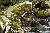 Coastal Brown Bear Spring Cubs (Ursus arctos) climbing on rocky waterfall along salmon spawning stream by Kuliak Bay, Katmai National Park, Southwest Alaska