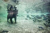 Underwater view of Coastal Brown Bear (Ursus arctos) fishing for spawning salmon in stream, Katmai National Park, Southwest Alaska