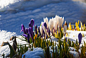 White and purple Crocus flowers blooming through snow in spring, Girdwood, Southcentral Alaska