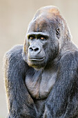 'Male Western Lowland Gorilla (Gorilla gorilla gorilla) native to central Africa and critically endangered in wild, at the San Francisco Zoo; San Francisco, California, United States of America'