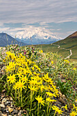 View of yellow Alpine Arnica on a steep slope with Polychrome Pass and Mt. McKinley in the background at sunrise, Denali National Park, Summer, Interior Alaska, USA.