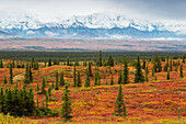 View of a backpacker's tent in colorful fall foliage in front of the base of Mt. McKinley, Fall, Denali National Park, Interior Alaska, USA.