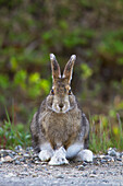 A Snowshoe hare sits along a trail in Denali National Park, Interior Alaska, Summer