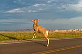 'Bighorn Sheep (Ovis canadensis) crossing the road, Badlands National Park; South Dakota, United States of America'