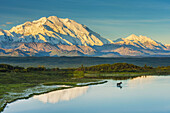 A silhouette of a bull moose feeding in a pond next to the Park Road in early morning light in Denali National Park with Mount McKinley and the Alaska Range in the background
