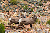 'Two desert Bighorn Sheep (Ovis canadensis) rams standing close together in desert foliage in the Colorado National Monument; Grand Junction, Colorado, United States of America'