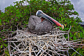 'Brown Pelican (Pelecanus occidentalis) sitting on it's nest; Santa Cruz Island, Galapagos Archipelago, Ecuador'