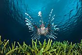 'Lionfish (Pterois volitans); Indonesia'