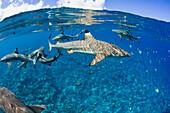 Blacktip reef sharks (Carcharhinus melanopterus) Yap, Micronesia