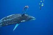 'Two free divers submerge near a pair of humpback whales (Megaptera novaeangliae); Hawaii, United States of America'