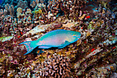 Hawaii, Bright blue male Ember Parrotfish.