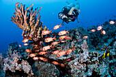 Hawaii, Diver and a school of soldierfish (Myripistis kuntee).