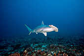 Hawaii, Molokai, Scalloped Hammerhead shark (Sphyrna lewini) swimming on the ocean floor