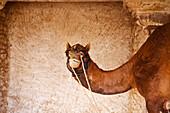 'A camel tethered at Ranvas Palace; Rajasthan, India'