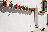 'A whitewash wall with potted flowers mounted in a row; Arcos de la Frontera, Andalusia, Spain'