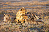 'A cheetah laying with her young; Tanzania'
