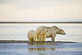 Polar bear (Ursus maritimus), sow with pair of spring cubs scent the air, Bernard Spit, off the 1002 area of the Arctic National Wildlife Refuge, North Slope, Alaska