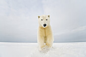 Polar bear (Ursus maritimus), young bear pounces on the snow, Bernard Spit, 1002 area of the Arctic National Wildlife Refuge, North Slope, Alaska, Beaufort Sea