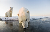 Polar bear (Ursus maritimus), pair of 3-year-olds at the edge of an ice floe, Beaufort Sea, off the 1002 area of the Arctic National Wildlife Refuge, North Slope, Alaska