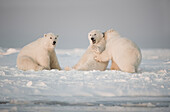 Polar bear (Ursus maritimus), three young bears play with one another on newly formed pack ice, Beaufort Sea, off the 1002 area of the Arctic National Wildlife Refuge, North Slope, Alaska