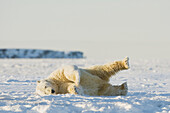 Polar bear (Ursus maritimus), rolling around on newly forming pack ice during fall freeze up, Beaufort Sea, off the 1002 area of the Arctic National Wildlife Refuge, North Slope, Alaska