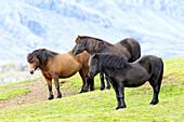 'Icelandic horses; Iceland'