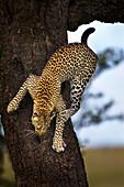 'Leopard coming down a tree at serengeti plains; Tanzania'