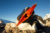 Antarctica, Petermann Island, Gentoo Penguin (Pygoscelis papua) pecks at camera lens while nesting in rookery on rocky outcrop along Penola Strait