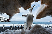 Antarctica, South Shetland Islands, Chinstrap Penguins (Pygoscelis antarcticus) attempt to climb snow cliff overhang on Deception Island