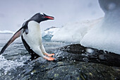 Antarctica, Cuverville Island, Gentoo Penguin (Pygoscelis papua) leaping from water onto shoreline