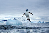 Antarctica, Gentoo Penguins(Pygoscelis papua) leaping from water along Cuverville Island shoreline