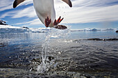 Antarctica, Cuverville Island, Gentoo Penguin(Pygoscelis papua) leaping from water to rocky shoreline