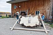 'Native American teenaged boy and girl lifting a stretched buffalo hide; Rossburn, Manitoba, Canada'
