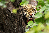 'Extreme close up of leopard warning to stay away at Gomo Gomo Game Lodge; South Africa'