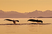 A couple of Humpback whales lift their flukes as they submerge beneath the calm surface of the Inside Passage, Frederick Sound at sunset on a summer evening, Admiralty Island in the distance.
