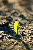 'A young corn seedling emerges from the wet ground; Iowa, United States of America'