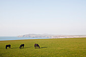 'Three horses grazing on a green field with a view of the ocean and coastline in the distance; Pembrokeshire, Wales'