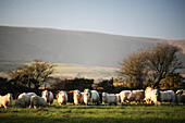 'Sheep in a field near village of Mynachlog-ddu, Preseli mountains in the background; Pembrokeshire, Wales'