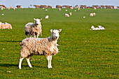 'Field of sheep and lambs near Newport on Pembrokeshire Coast Path, South West Wales; Pembrokeshire, Wales'