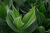 False Hellebore (Veratrum californicum) is a tall broad leaved, conspicuous plant which grows in moist places in high mountains.