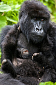 A mother gorilla looks exhausted as her infant tries to wrestle with her. Young gorillas are known for their playful behavior, often somersaulting over the adults' bodies and wrestling with each other. This playful behavior teaches young gorillas how to i