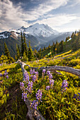 Purple Lupin (Lupinus perennis) grow across the valley from Mount Ranier.