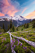 Purple Lupin (Lupinus perennis) grow across the valley from Mount Ranier in Mount Ranier National Park.