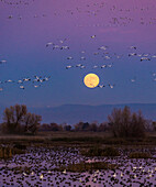 Snow Geese flying toward the rising full moon at Grey Lodge Wildlife Refuge