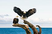 bald eagle (Haliaeetus leucocephalus) landing in dead tree, Homer, Alaska