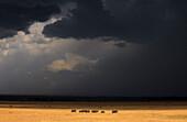 A herd of elephants (Loxodonta) walking in the light just before a heavy rainstorm in Kenya's Masai Mara Natioanl Reserve.