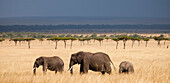 Three African Elephants (Loxodonta) walking through a strand of acacia trees with an impending rainstorm above in Kenya's Masai Mara National Reserve.